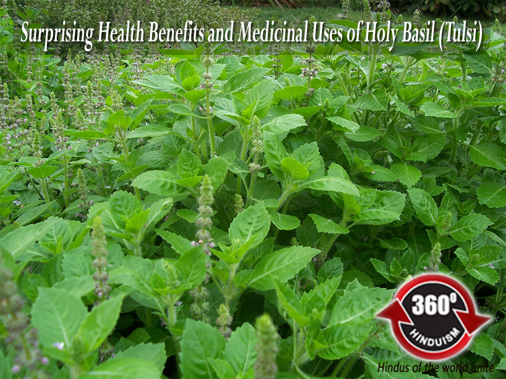 Holy Basil, Tulsi, Medicinal use of tulsi