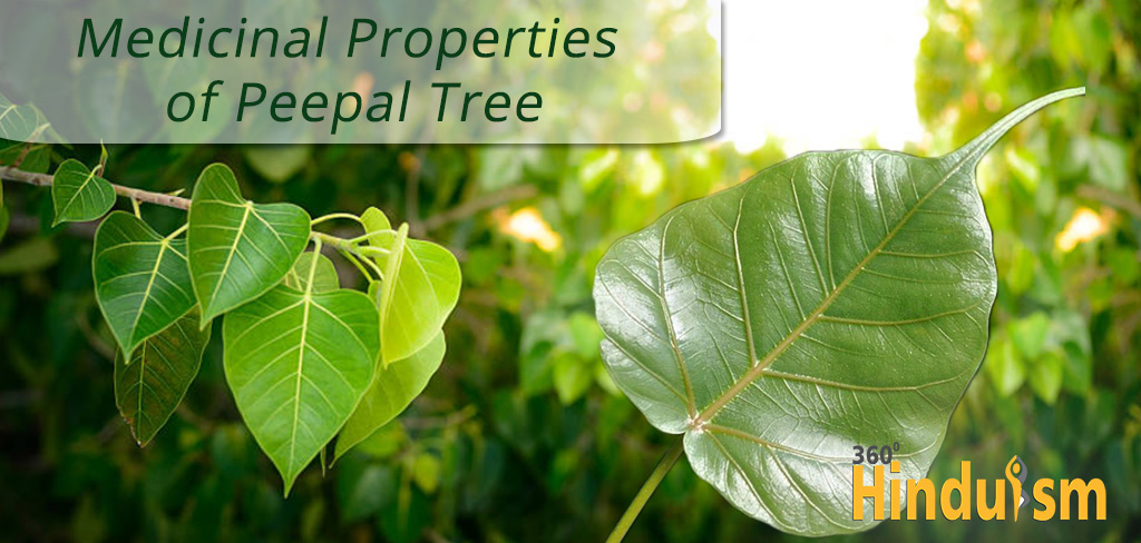 Medicinal Properties Of Peepal Tree 360 Degrees Hinduism